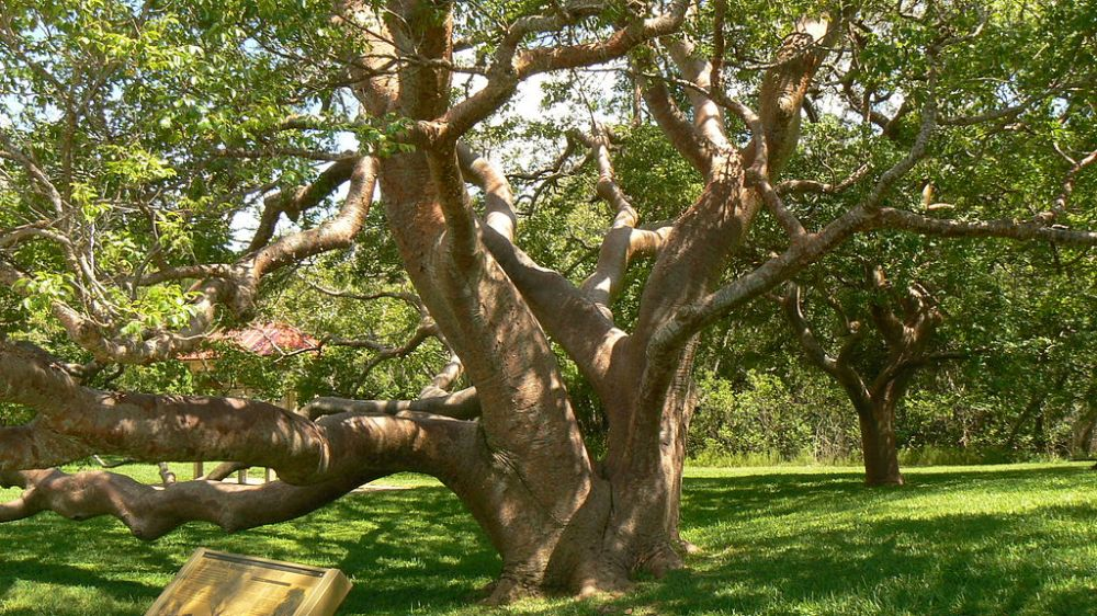 1024px-Gumbo_Limbo_Tree_DeSoto_National_Monument